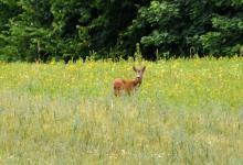 Sarna stojąca na łące wśród wysokich traw i polnych, żółtych kwiatków,patrząca w obiektyw aparatu, fot. J. Koniecko