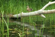 Samice kaczki krzyżówki odpoczywające na powalonym drzewie nad ciekiem wodnym wśród zielonych trzcin i zarośli,fot. J. Koniecko