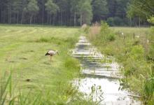 Spacerujący bocian po skoszonej łące przy strumyku, w oddali las, fot. J. Koniecko